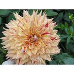 Георгин Киабосс(1) Крупноцветковый
