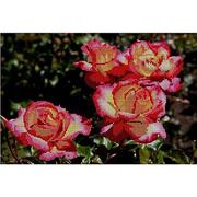 Ткань для вышивания бисером А3 КМЧ-3338 «Розы» 25*37 см