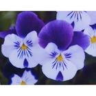 Набор для вышивания Искусница №562 «Анютины глазки в вазе» 23*23 см