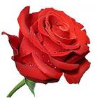 Алмазная мозаика C 0101 «Алая роза»