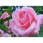 Алмазная мозаика Milato № 286 «Роза после дождя»